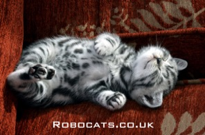 silver tabbies for sale
